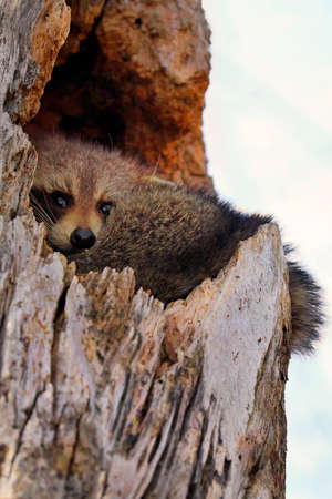 Funny Raccoon sheltered in a  hollow tree into the forest, Quebec, Canada