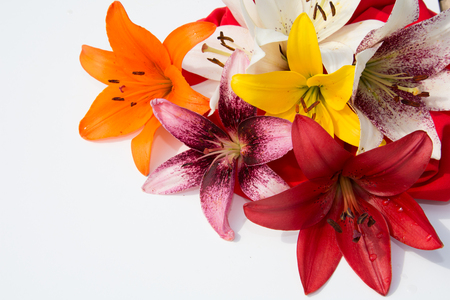 Beautiful fresh flowers. Tenderness and pleasant smell. Garden Lilies