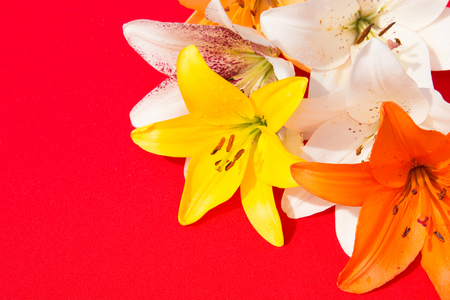 Beautiful fresh flowers. Tenderness and pleasant smell. Garden Lilies. Red background