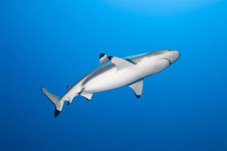 Blacktip reef shark (carcharhinus melanopterus) in deep blue