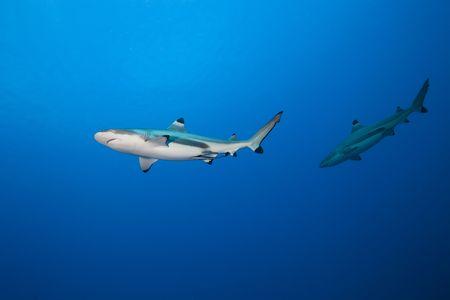 2 blacktip reef shark (carcharhinus melanopterus) in deep blue