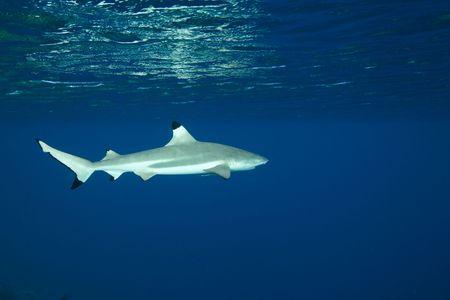 blue lagoon: Blacktip Shark Reef in blu profondo dell'Oceano Pacifico