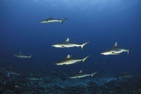 Grey reef shark Carcharhinus Amblyrhynchos in deep blue of Pacific Ocean