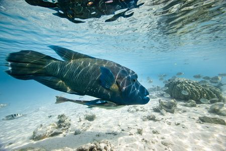 cheilinus undulatus: A big humphead wrasse with remora in blue lagoon of south pacific
