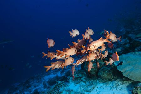 A lot of red soldierfish Myripristis Pralinia in Pacific Ocean