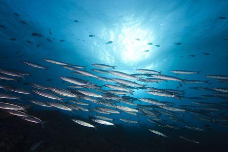 bahamas: Een thazard sierra shoal in het diepe blauw van de Stille Oceaan Stockfoto