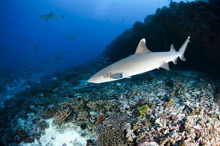micronesia: White tip reef shark Triaenodon Obesus in deep blue of Pacific Ocean Stock Photo