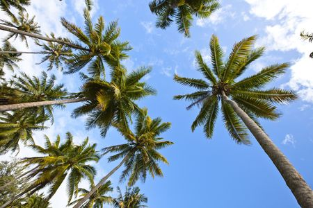 A lot of palm tree in a paradise island of Maldives