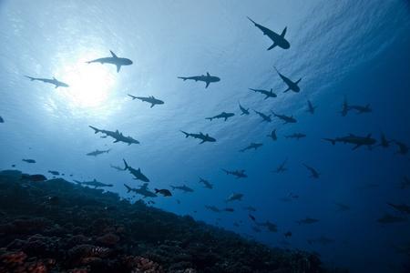 School of reef grey shark Carcharhinus Amblyrhinchos in deep blue of pacific ocean Stock Photo