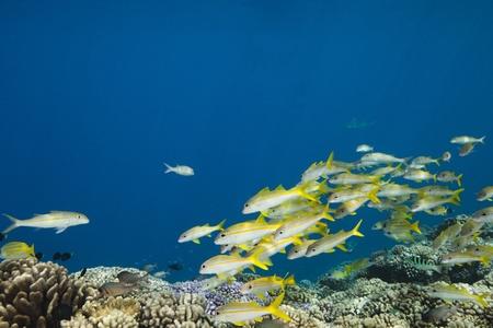 School of yellow-tail snapper Ocyurus chrysurus in deep blue of pacific ocean