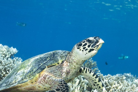 Hawksbill Turtle dive in blue lagoon of Maldives Stock Photo