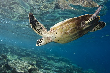 Hawksbill Turtle dive in blue lagoon of Maldives photo