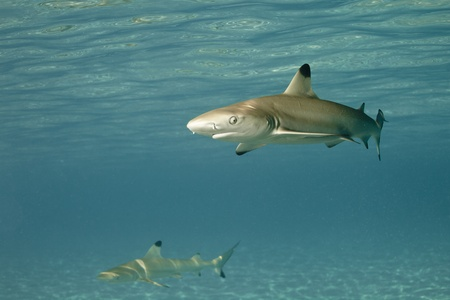 Blacktip reef shark in deep blue of Pacific Ocean photo