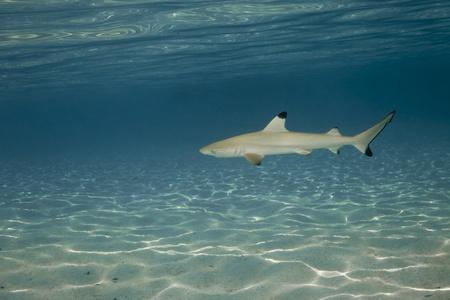 Blacktip reef shark in deep blue of Pacific Ocean Stock Photo