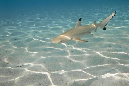 Requin de r�cif � pointes noires au bleu profond de l'oc�an Pacifique