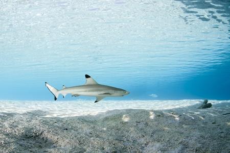 Requin � pointes noires en bleu profond de l'oc�an Pacifique Banque d'images