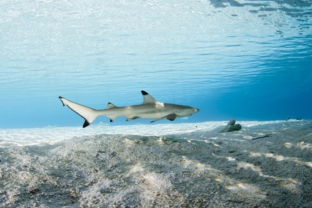 french polynesia: Blacktip reef shark in deep blue of Pacific Ocean Stock Photo