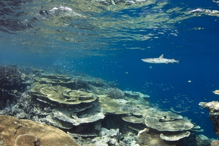 martinique: White tip reef shark Triaenodon Obesus