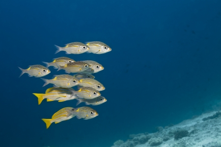 atoll: Snappers yellow tail, Ocyurus chrysurus in deep blue of indian ocean  Picture take in Ari atoll - Maldives