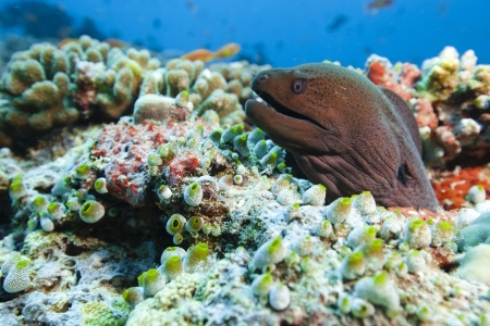 Moray on the reef of lagoon in idian ocean  Picture take in Ari atoll - Maldives Stock Photo - 13966508