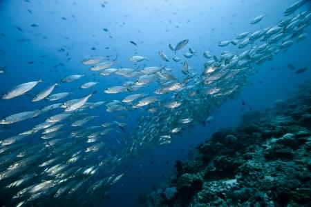 A very big Thazard Sierra Caesionidae shoal in deep blue of Ari atoll - Maldives