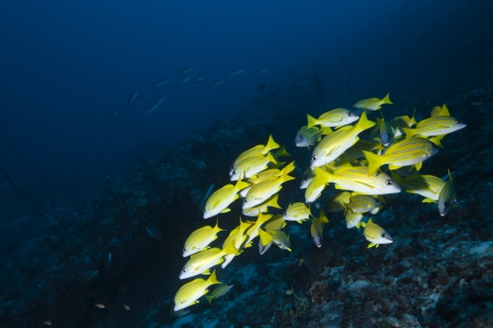 shoal: Snapper blue strip in deep blue of indian ocean  Picture take in Ari atoll - Maldives Stock Photo