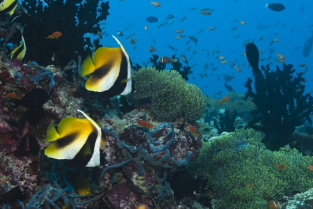 Red Sea bannerfish Heniochus intermedius  in deep blue of indian ocean  Picture take in Ari atoll - Maldives Stock Photo - 13966515