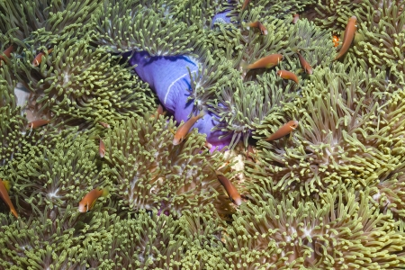 A lot of Amphiprion nigripes clown fish in anemone Heteractis magnifica in Ari atoll - Maldives Stock Photo - 13966511