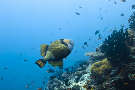 Balistidae triggerfish in deep blue of indian ocean  Picture take in Ari atoll - Maldives