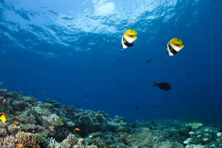 Red Sea bannerfish Heniochus intermedius  in deep blue of indian ocean  Picture take in Ari atoll - Maldives