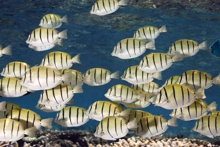 ari: Convict surgeon fish Acanthurus triostegus shoal in blue lagoon of Ari atoll - Maldives Stock Photo