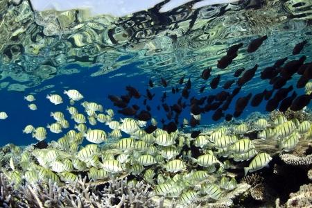 Convict surgeon fish Acanthurus triostegus shoal in blue lagoon of Ari atoll - Maldives Stock Photo - 14007760