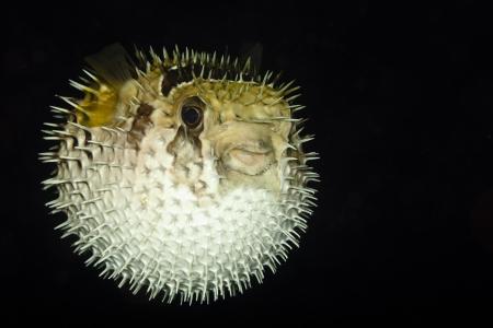 pez globo: Diodontidae, Porcupinefish o Blowfish en el Oc�ano Pac�fico en Siquijor - Filipinas Foto de archivo