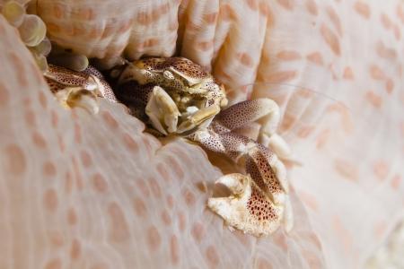 Porcellanidae Anemone Porcelain Crab, Decapod Crustacean in Pacific Ocean at Panglao - Philippines photo