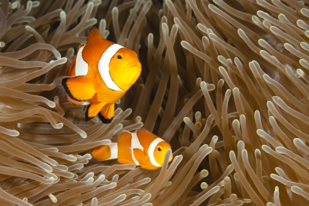 Pomacentridae,  Clown Fish or Anemonefish in Pacific Ocean at Panglao - Philippines Stock Photo