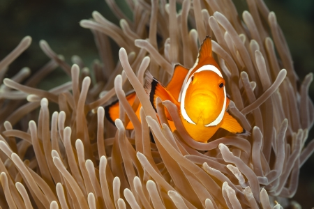 clown fish:  Pomacentridae,  Clown Fish or Anemonefish in Pacific Ocean at Panglao - Philippines Stock Photo