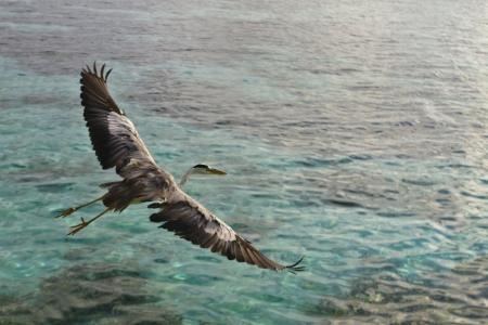 ari: Grey Heron Grey Heron Ardea cinerea in Ari Atoll - Maldives
