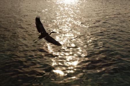 ardea cinerea: Grey Heron Grey Heron Ardea cinerea in Ari Atoll - Maldives