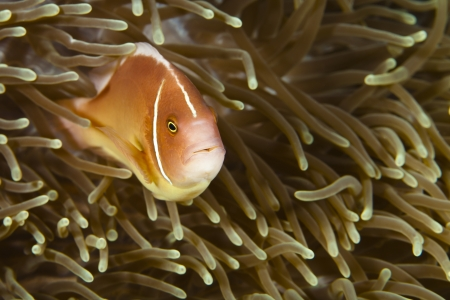Pomacentridae,  Clown Fish or Anemonefish in Pacific Ocean at Panglao - Philippines Stock Photo - 18830227