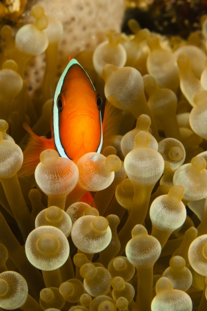 Pomacentridae,  Clown Fish or Anemonefish in Pacific Ocean at Panglao - Philippines Stock Photo - 18829934