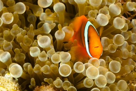 Pomacentridae,  Clown Fish or Anemonefish in Pacific Ocean at Panglao - Philippines photo