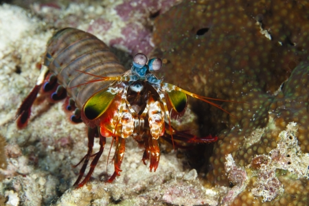 Stomatopods, Mantis shrimp at Panglao - Philippines