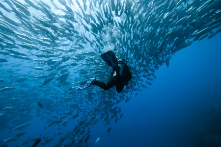 diver: Trevally and diver at Panglao - Philippines Stock Photo