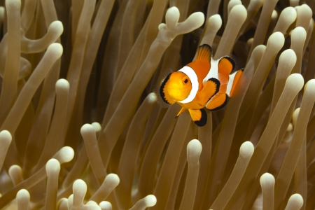 Pomacentridae,  Clown Fish or Anemonefish in Pacific Ocean at Panglao - Philippines Stock Photo - 18829967