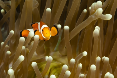 Pomacentridae,  Clown Fish or Anemonefish in Pacific Ocean at Panglao - Philippines Stock Photo - 18829960