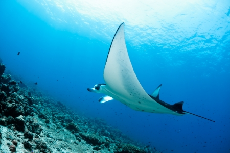 Manta ray in Indian Ocean - Maldives, North Male Atoll Stock Photo