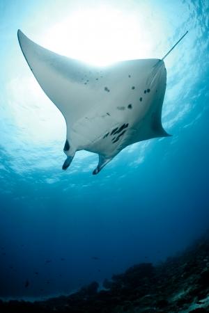 Manta ray in Indian Ocean - Maldives, North Male Atoll Stock Photo