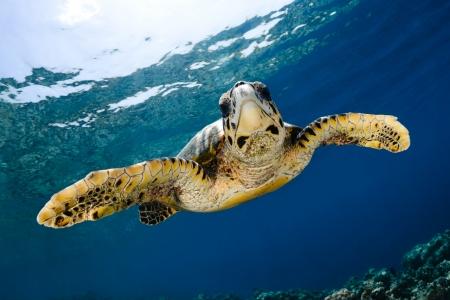 Mer tortue imbriqu�e Eretmochelys imbricata dans le lagon bleu de l'oc�an Indien - Maldives Banque d'images