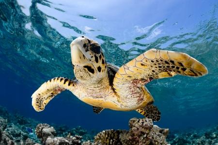 Hawksbill sea turtle  Eretmochelys imbricata  in blue lagoon of Indian Ocean - Maldives Stock Photo