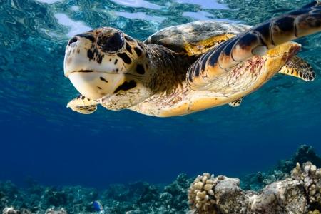 sea turtle: Hawksbill sea turtle  Eretmochelys imbricata  in blue lagoon of Indian Ocean - Maldives Stock Photo